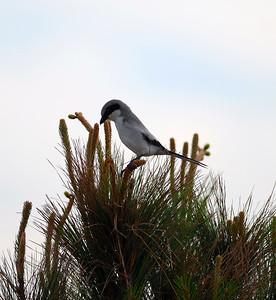 King Fisher - Shrikes