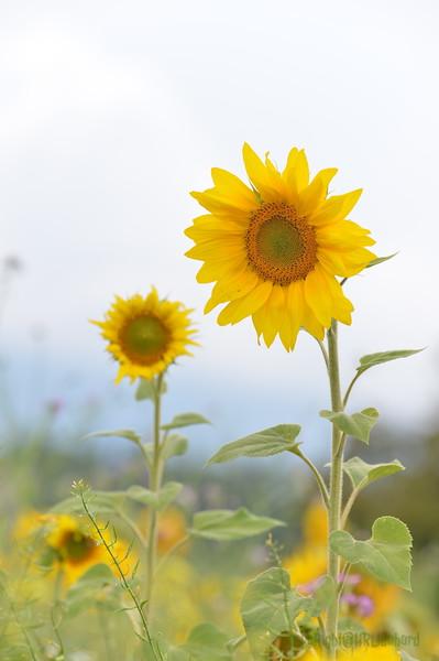 Sunflower Lonay_20092020 (55).JPG