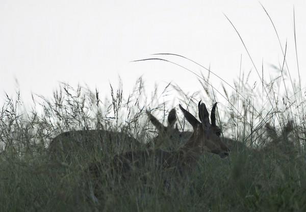 Bergrietbok; Mountain reed buck; Redunca fulvorufula; Cobe de montagne; Bergriedbock