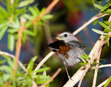Gray Catbirds & Brown Thrashers