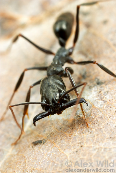 Odontomachus bauri