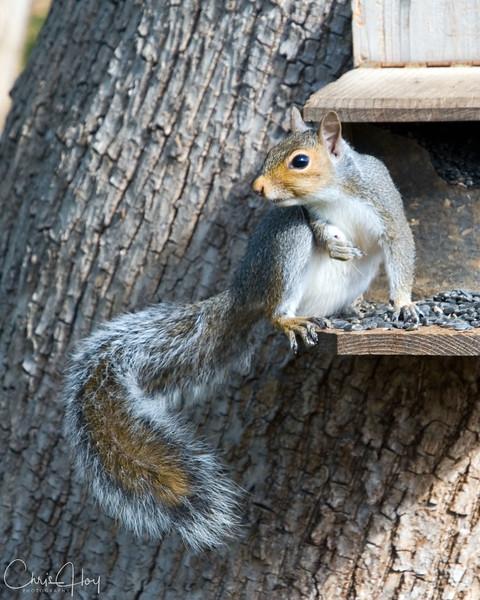 backyard.squirrel.jpg