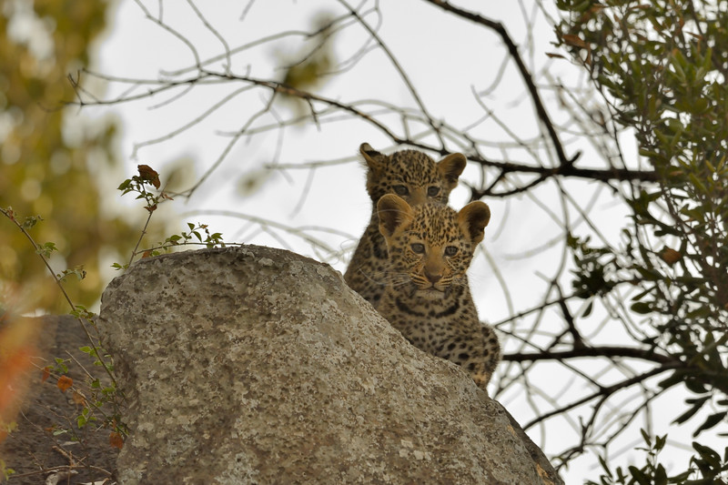 Two African Leopard (Panthera pardus pardus) cub on a rock in Masai Mara