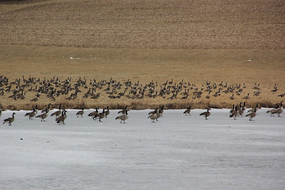 Canadian Geese, Catawissa Road, Lewistown Valley, Schuylkill, Walker Township (2-26-2013)