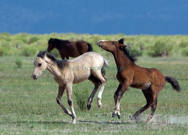 Pizona Mustangs