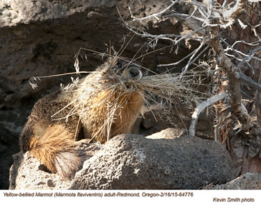 Yellow-bellied Marmot A64776.jpg