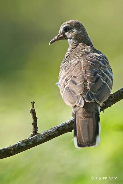 Doves, Pigeons & etc