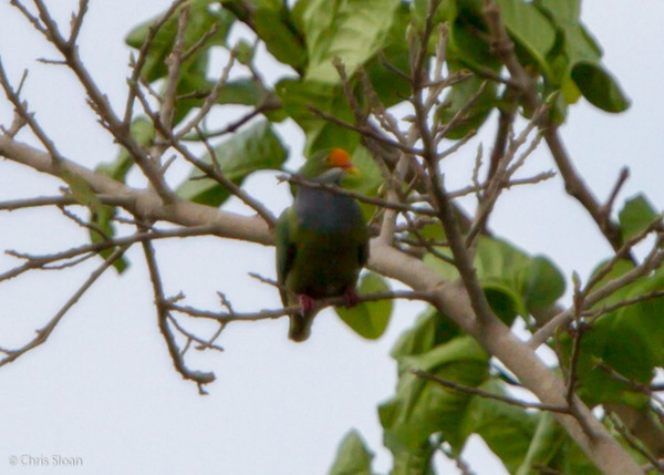 Orange-fronted Fruit-Dove at Pacific Adventist University, Port Moresby, Papua New Guinea (09-29-2013) 009-411.jpg