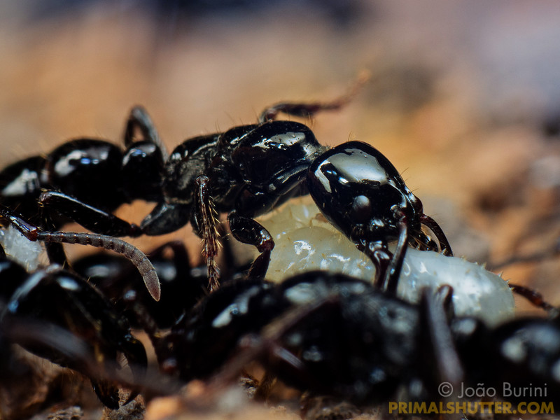 Black predatory ants carrying pupae
