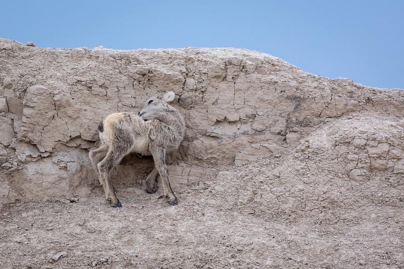 spring lamb in the rocks Badlands National Park-2852.jpg