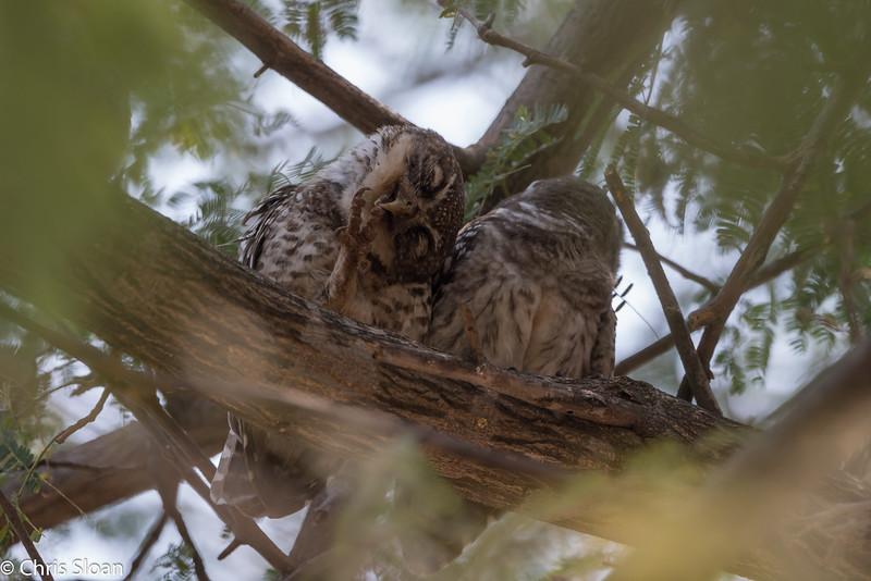 Spotted Owlets at Topslip Entrance Gate, Tamil Nadu, India (02-27-2015) 061-151.jpg
