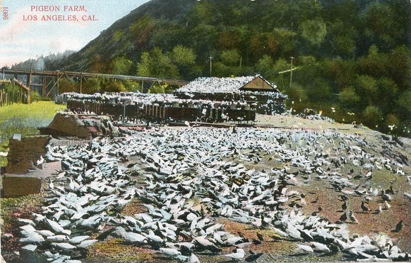 Pigeon_Fam_Los_Angeles_Cal_9801.jpg