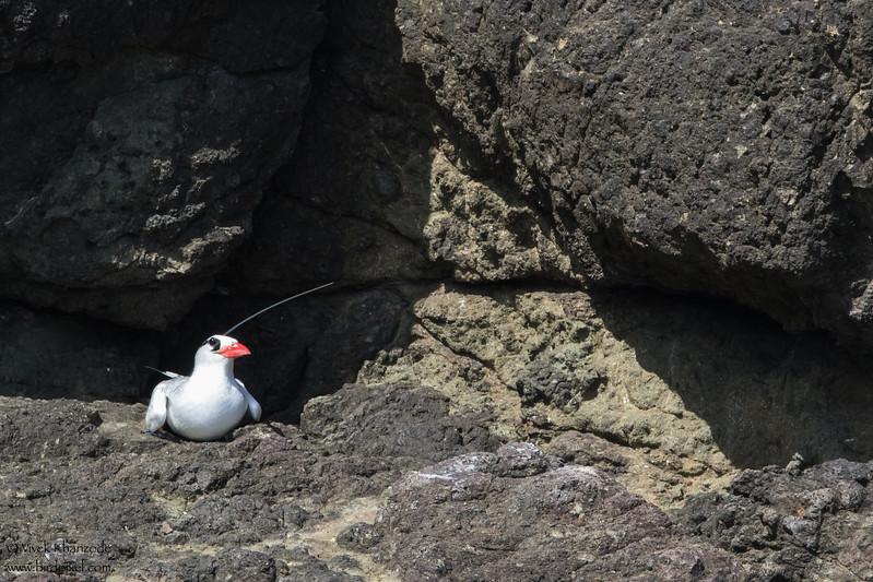 Red-billed Tropicbirds - Little Tobago Island, Tobago
