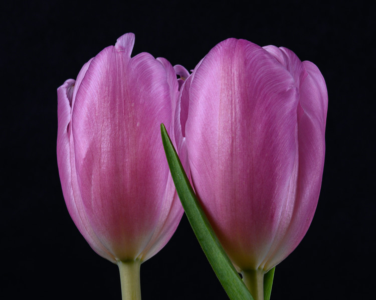 Tulips2020-018.jpg