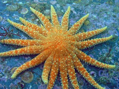 Sea Stars (Asteroidea)