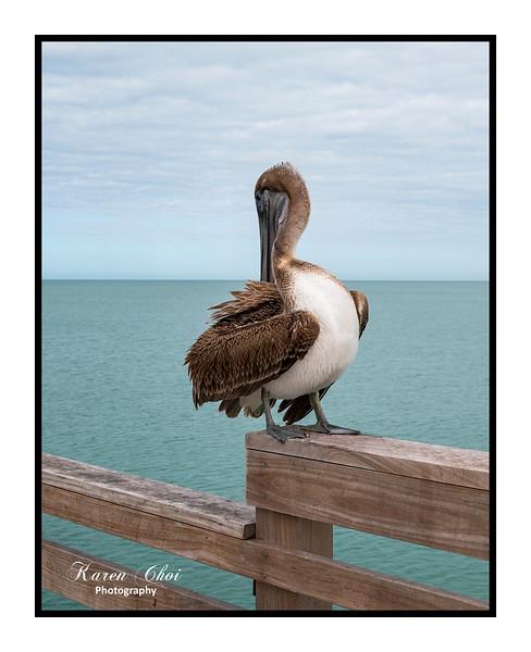 Resting Pelican sm.jpg