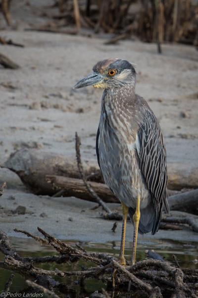 Yellow-Crowned Night-Heron 02