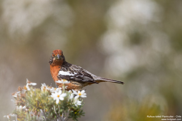 Rufous-tailed Plantcutter