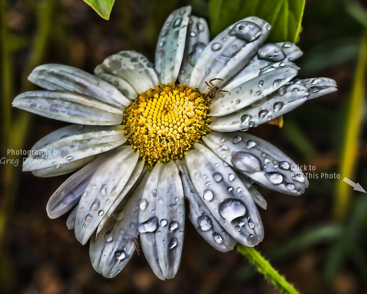 Rainy Shasta Daisy