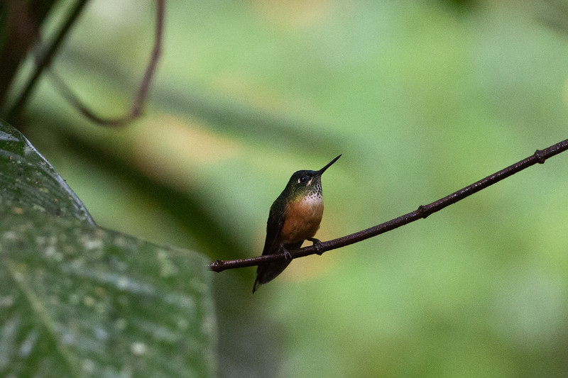 Violet-Tailed Sylph, female