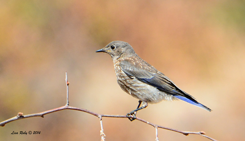 Immature Western Bluebird - 7/13/2014 - Nancy's House, Ramona