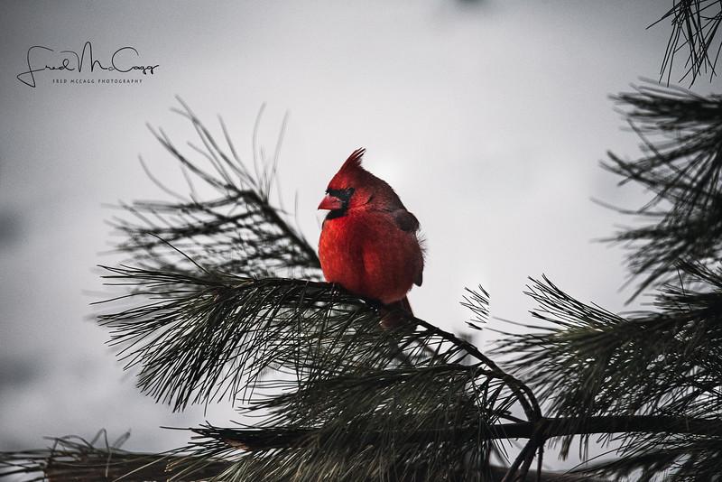 Cardinal with logo.jpg