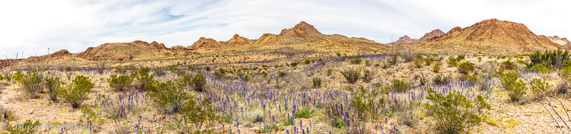 Panorama of Big Bend Bluebonnets across the Desert