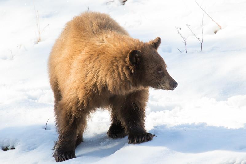 Tahoe Bear Fall 2020-3.jpg