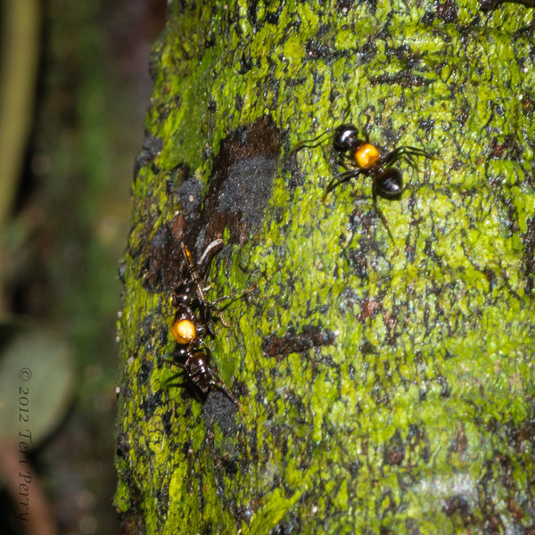 INSECT - jungle ant warfare?-1047...Can Not figure out what the one on the left is carrying.....