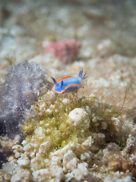 red line blue sea goddess: Risbecia nyalya