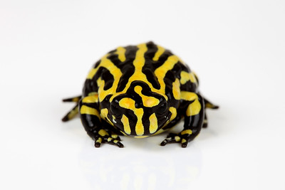 Corroboree Frogs
