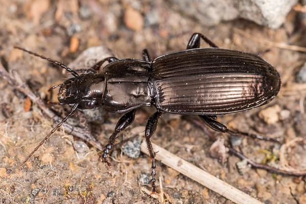 Megadromus fultoni