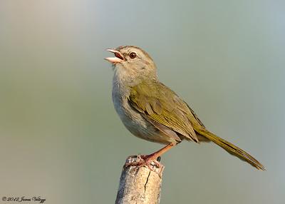 Olive Sparrow, Arremonops rufuvurgatus