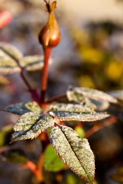 rose_frost.jpg