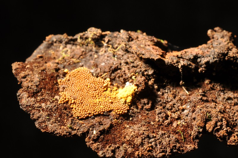 Trichia favoginea on Phellinus gilvus