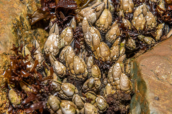 Stalked barnacles (Scalpelliformes)