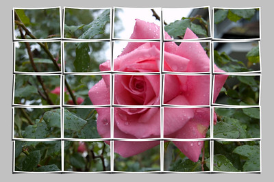 A Puzzled Rose