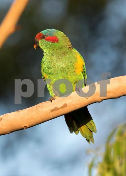 Cronulla parrots 13.jpg