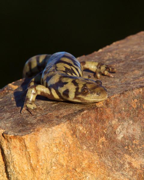 Tiger Salamander, Omak