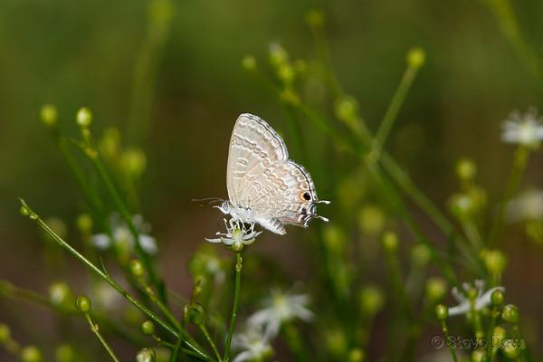 Wattle Blue