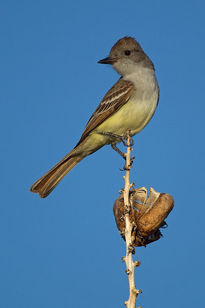 Flycatcher, Brown-Crested