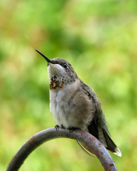hummingbird_7193.jpg