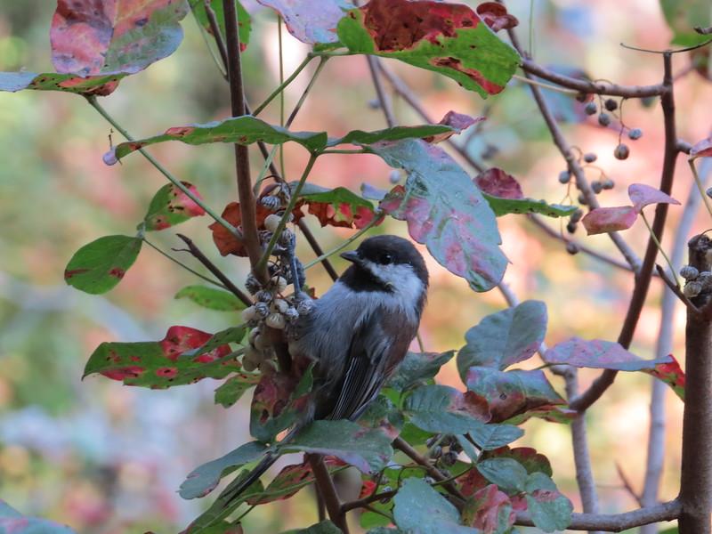 Chickadee in Poison Oak