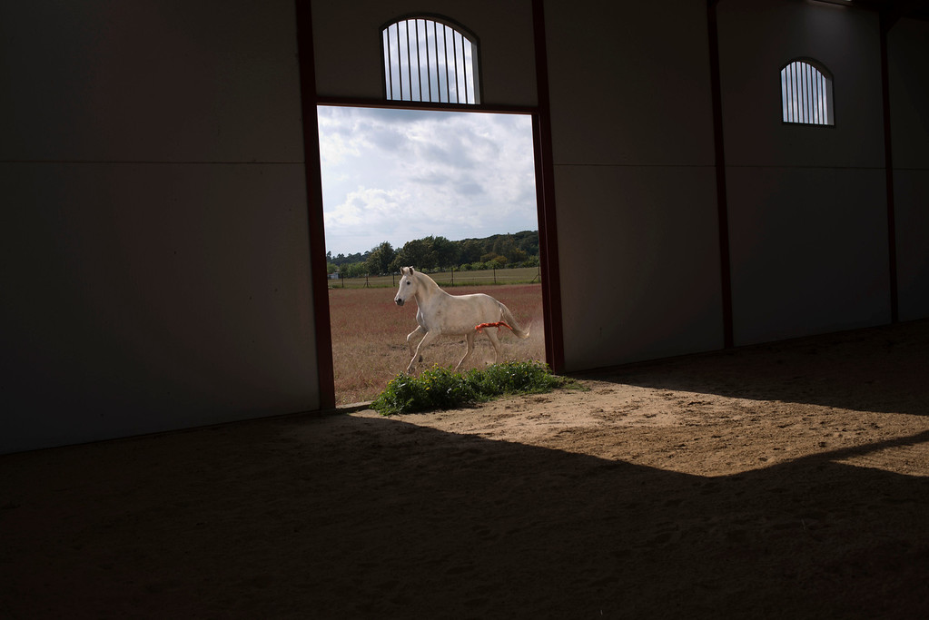 """. In this photo taken on Monday, April. 8, 2013, A \'\'Pura Raza Espanola\'\' or Pure Spanish Breed mare belonging to breeder Francisco Jose Rodriguez runs next to the stable at \""""La Yeguada de Cuatro Vientos\"""" ranch in Almonte, in the southern Spanish region of Andalusia. Barring an unlikely reprieve, Rodriguez\' purebreds will be turned into horse meat for export come in the next coming months. They are victims of a wrenching economic downturn that has wiped out fortunes, turned housing developments into ghost towns and left more than a quarter of the population out of work. (AP Photo/Laura Leon)"""