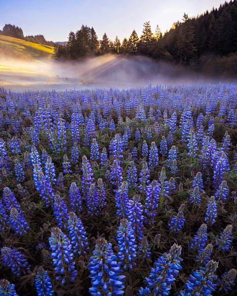 Lupine Fog Beams