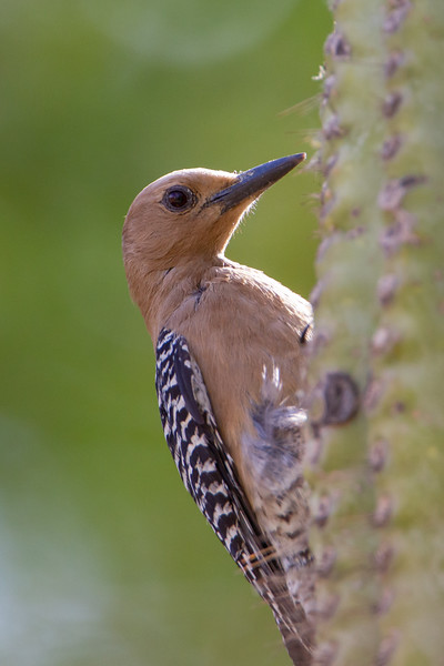 Gila Woodpecker - Tucson, AZ, USA