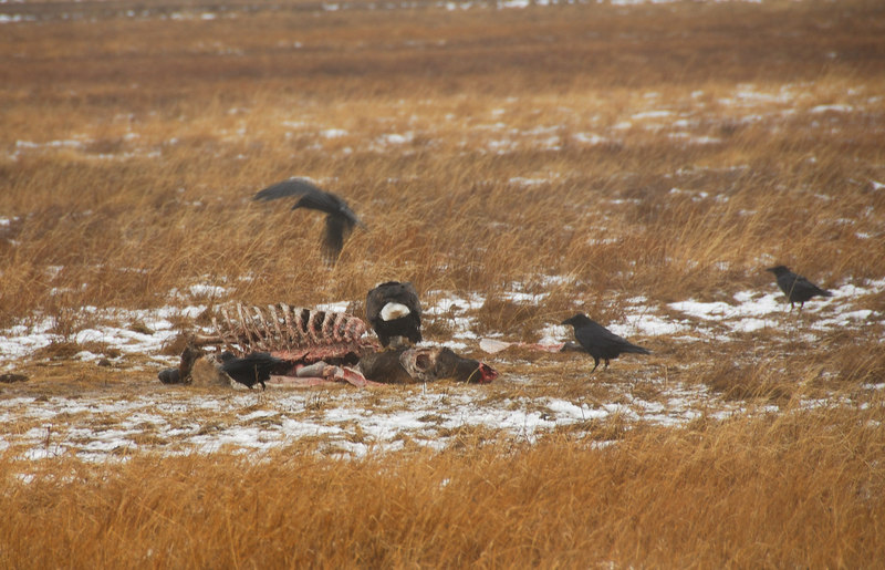 Bald eagle, ravens and elk carcass   (Dec 13, 2006, 02:44pm)  A bald eagle and some ravens are cleaning up an elk carcass.  Picture taken from a wagon (in the rain) at the National Elk Refuge in Jackson Hole.