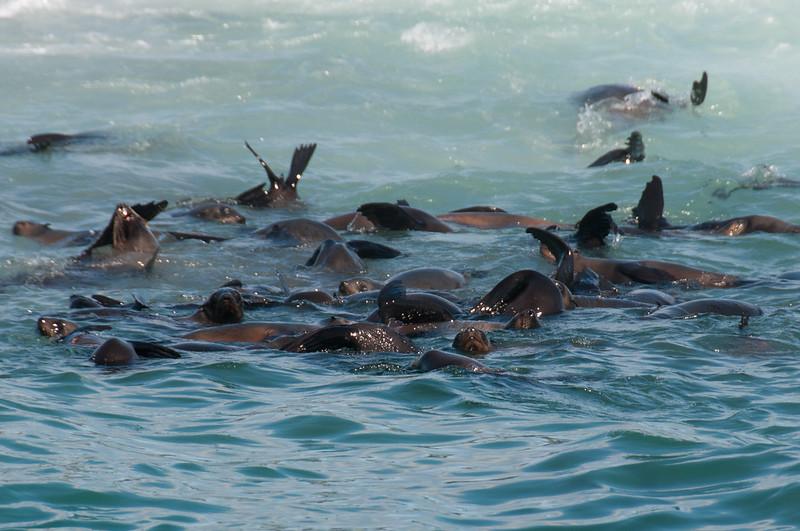 Seals in Hermanus, South Africa