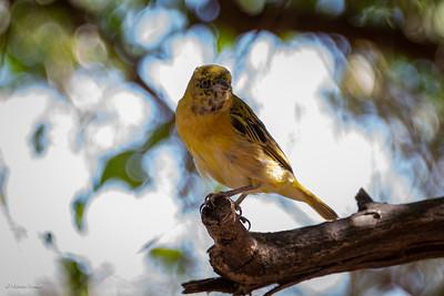 Weaver, Lesser Masked (spp. cabanisii)