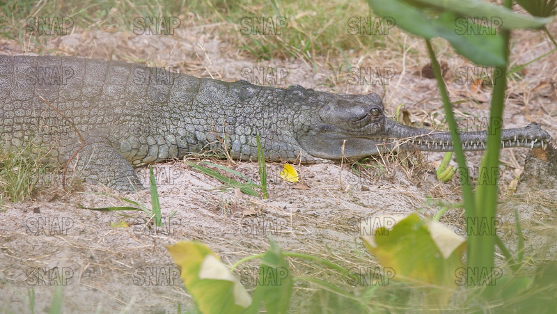 Indian Gharial (Gavialis gangeticus), at the St. Augustine Alligator Farm Zoological Park.
